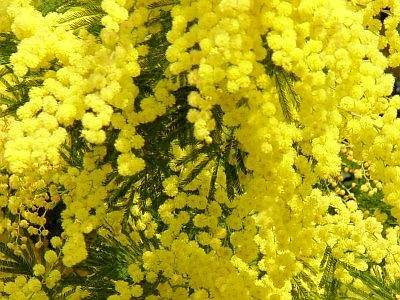 Mimose_1